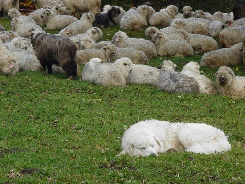 Znalezione obrazy dla zapytania owce na hali